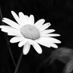 black-and-white-daisy-flower-2
