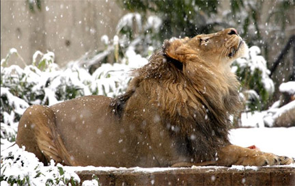 lion-in-winter.jpg