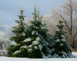 xmas-trees-3.jpg