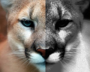 Mountain Lion copy