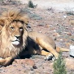 lionresting