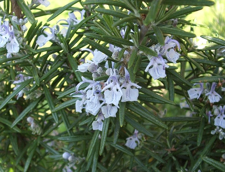 Rosmarinus officinalis (rosemary) by Luigi Chiesa. CC license 3.0.