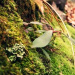800px-Moss_growing_on_a_rock_version_2