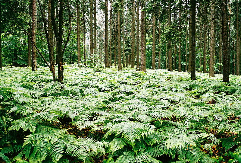 Fern Grove by Charlesblack. Image via Wikmedia Commons. CC license 3.0.