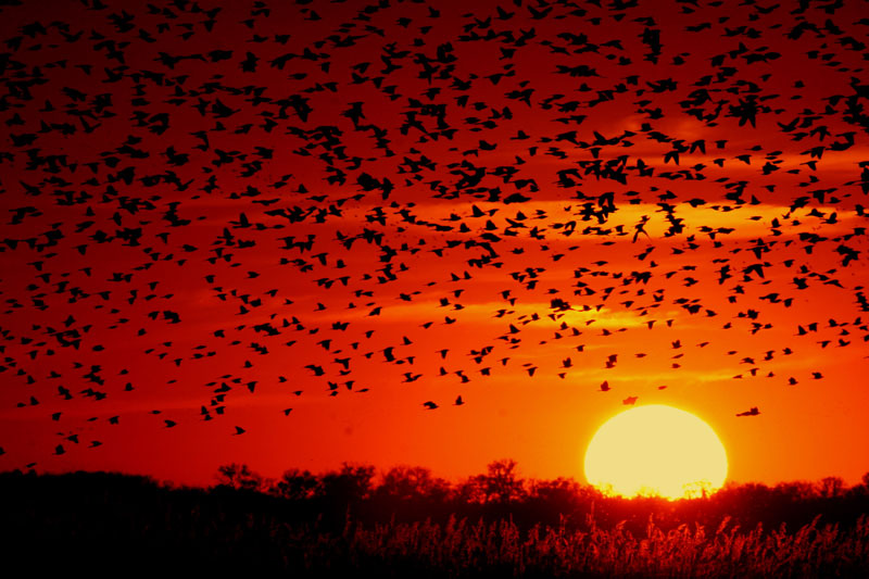 A flock of Red-winged Blackbirds (Agelaius phoeniceus) flying into the sunset. Image via Wikimedia Commons. Public domain.