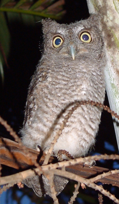 Eastern screech owl. Image by Ianare via Wikimedia Commons. Public domain.