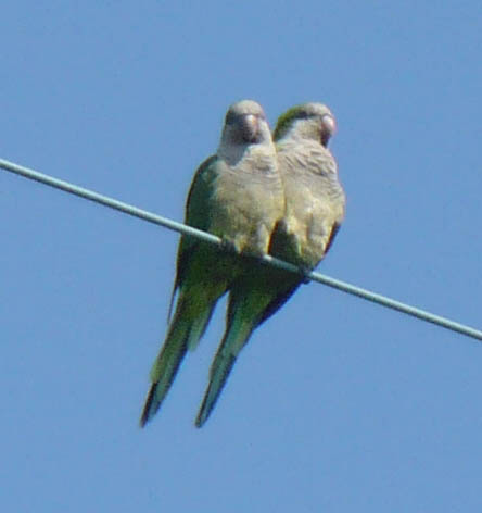 Feral Quaker parrots, aka monk parakeets. Image by Nicole Youngman.