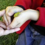 My son being very careful with a Louisiana green tree frog discovered at our community garden.