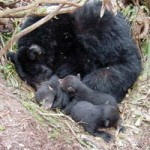 "Black bear mother and cubs ""denning."" Image via Wikimedia Commons. Public domain."