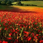 poppy-fields-remembrance-day-3