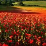 poppy-fields-remembrance-day-3
