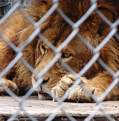 a lonely lion behind chain links