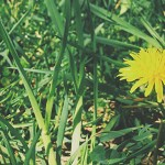 Dandelion Seeds: Digging Deep and Reaching High