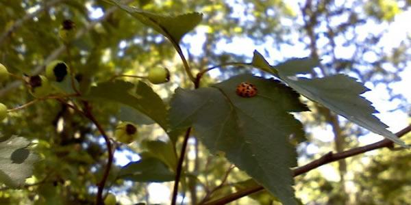 Ladybug on Hawthorn leaves / Morgan Daimler