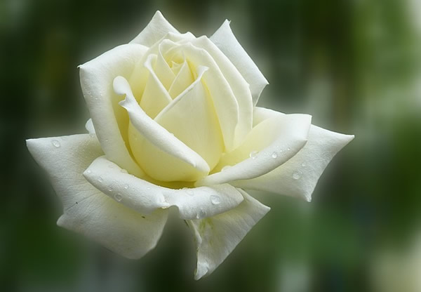 a single white rose