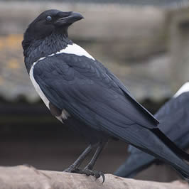 a hooded crow