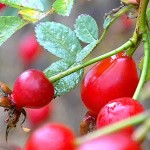red berries on a plant