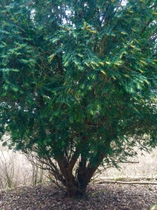an young evergreen tree