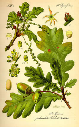 an illustration of an oak leaf