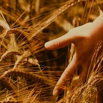 The Path of She:  A Lammas Meditation — Lugh and the Golden Field of Your Life Story