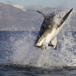 A Defiant Worship: What Shark Week teaches me about God/dess