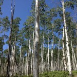 Pando, a clonal quaking aspen stand, that, according to some sources, is the oldest (80,000 years) and largest (106 acres, 13 million pounds) organism on Earth