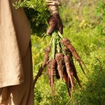 Fresh Carrots from the Pind (Village)