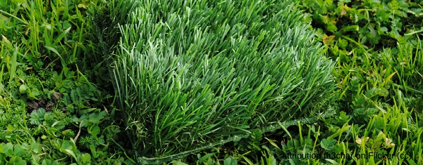 From Flickr common images: A clump of astroturf in the middle of grass