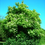 A full-grown elder tree Photo licensed under creative commons from