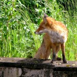 The Fox in the Park