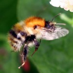 Common carder bee (Bombus pascuorum). Image by JerryL2008 used under Creative Commons License.