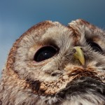 Hollow the Tawny Owl looking into the sun