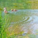 Wishful Ducklings