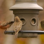 Three house finches at a bird feeder