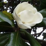Love and Magnolias