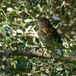 The power of the song thrush: life, death and the feast of St. John