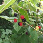 Some things I learned from blackberries
