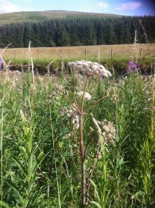 Angelica in bloom, surrounded by rose bay willow herb (fire weed) and with fields and hills in the background.