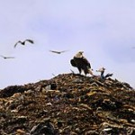 By Andrea Westmoreland. Bald Eagle at Tomoka Landfill, via Wikimedia Commons. The patriotism of waste.