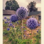 Alliums in Olympia