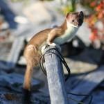Least Weasel, Bering Land Bridge National Preserve