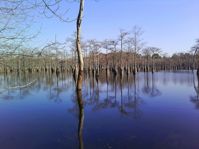bald cypress trees reflected in mill pond