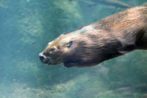 Beaver Underwater by Lilla Frerichs. Public domain image courtesy Publicdomainpictures.net