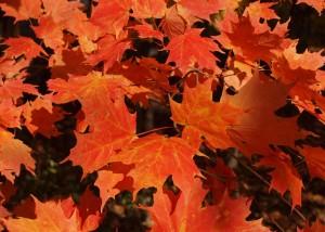 Maple Leaves by JKS Lola. Public domain image courtesy Publicdomainpictures.net