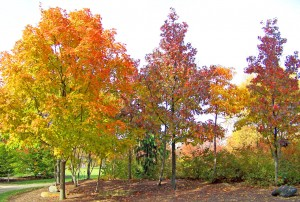 Maple Trees by David Wagner. Public domain image courtesy Publicdomainpictures.net