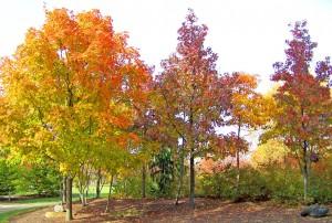 Maple Trees by David Wagner. Public domain image courtesy Publicdomainpictures.net
