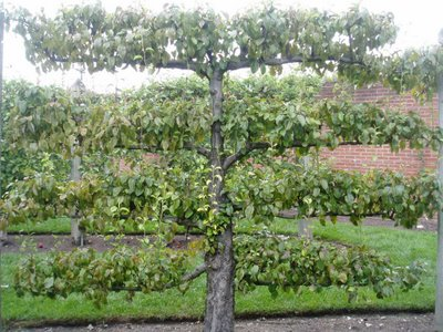 72 pear tree