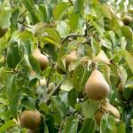 05 Pear tree