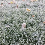 Frost and Fall and Ginko Trees