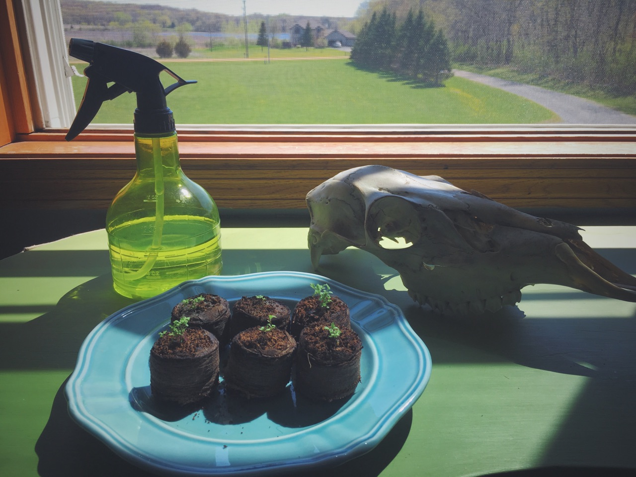 Mugwort seedlings (photo by author)